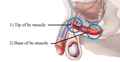 BC筋はペニスの根元。睾丸の上部に存在する筋肉で、勃起力に強く関係性があります。