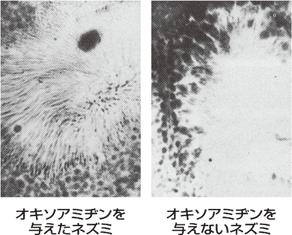 オキソアミヂンを与えた鼠の精子の数
