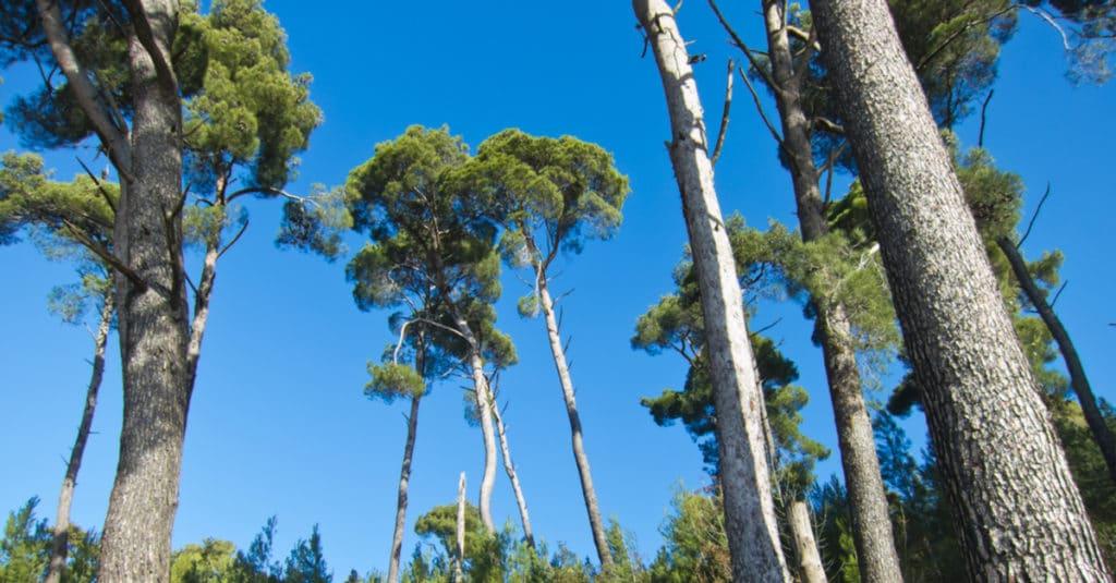 フランス海岸松の樹皮のピクノジェノールも精力アップ効果があることがわかっています。