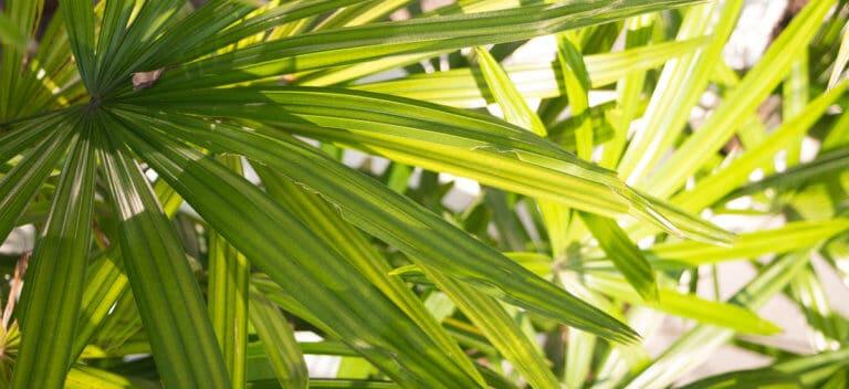 ノコギリヤシとはどんな植物?