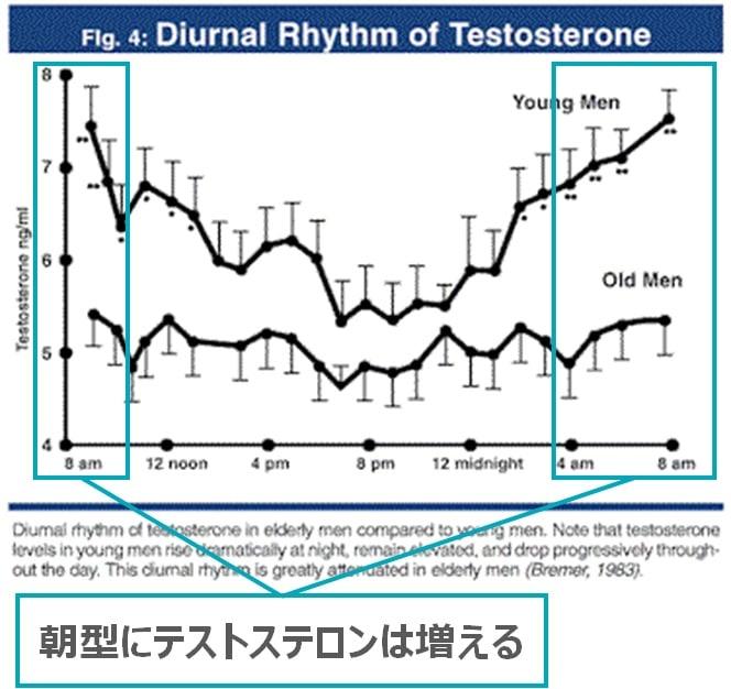 テストステロンのリズム