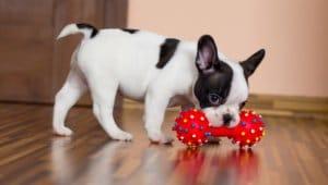 大人のおもちゃを食べるペット
