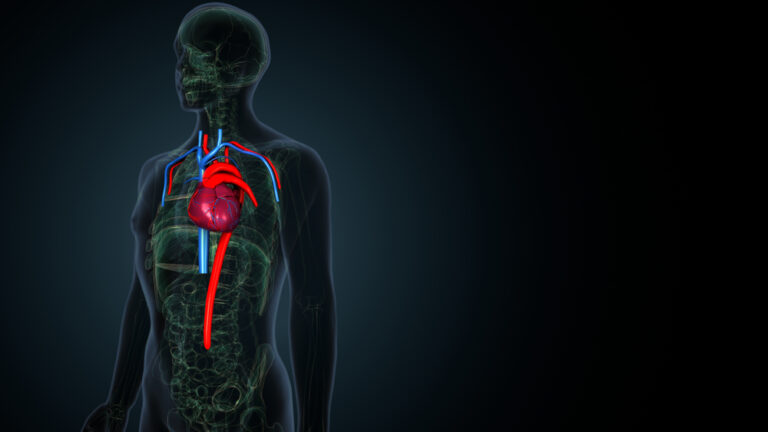 人体 心臓